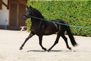 2 NEGRITO DEL ANDALUZ (das einzige Pferd aus Schweizer Zucht) 04.05.2015 GOGGIA CORRADO
